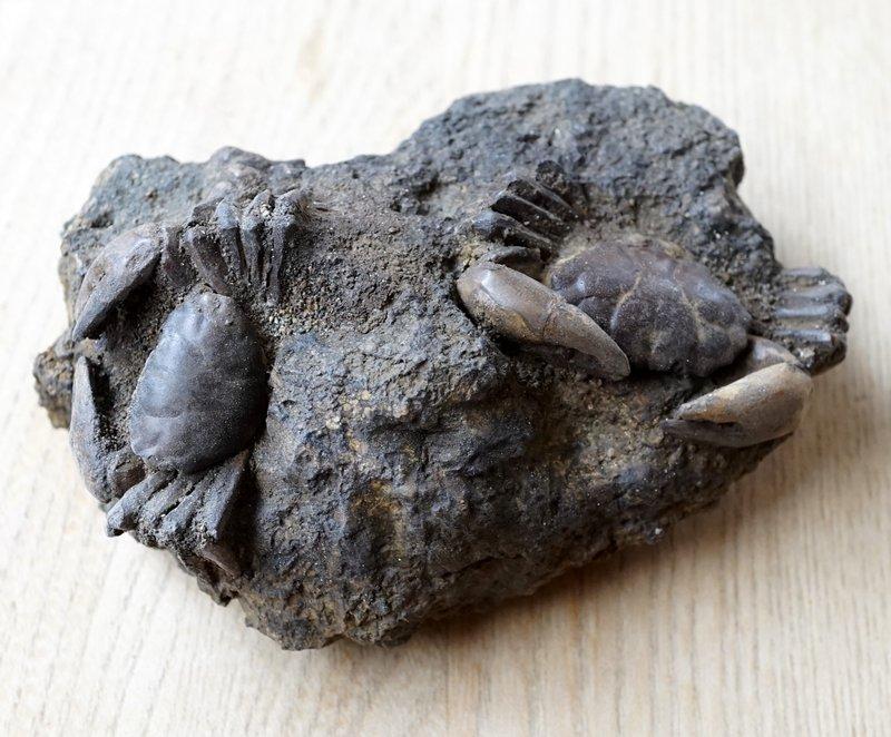 母岩付きカニ化石 新生代(鮮新世...